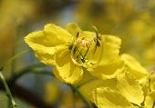 image of cassia  - beautiful yellow flowering cassia flower with pollen - JPG