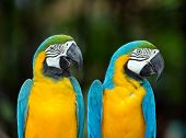 stock photo of love bite  - Pair of colorful Macaws parrots - JPG