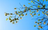 picture of dogwood  - White flowering dogwood tree  - JPG