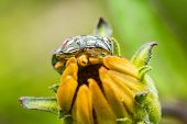 picture of shield-bug  - Shield Bug Sitting On Yellow Flower Close Up - JPG