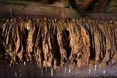 stock photo of tobacco leaf  - of tobacco leaves hung for drying process - JPG