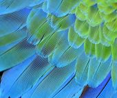 picture of green-winged macaw  - Beutiful of blue and green macaw bird feathers in close up - JPG