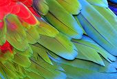 pic of green-winged macaw  - Close up of Green - JPG