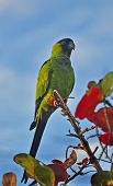 stock photo of monk fruit  - The all green parrot with a black head is seen in many cities in the country - JPG