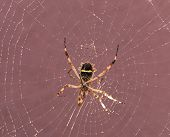 picture of cobweb  - Spider resting on its cobweb after rain
