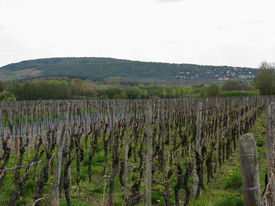 picture of tokay wine  - Vineyard and countryside during spring the plain of Alsace in France - JPG