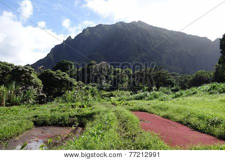 Kalo Fields On Windward Oahu