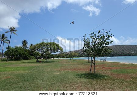 Pidgin Flying In The Air At Maunalua Bay Beach Park Full Of Trees In Hawaii Kai