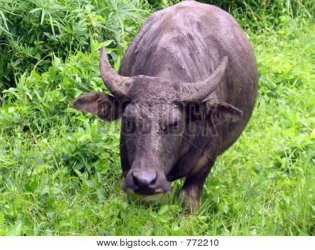 A Carabao on the Loose