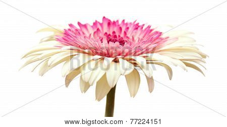 White And Magenta Gerbera
