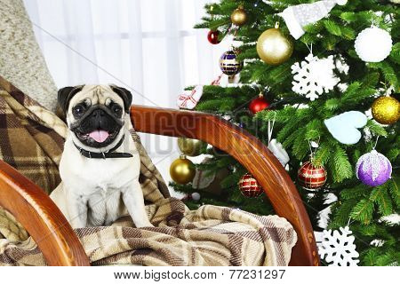 Funny, cute and playful pug dog on rocking chair near Christmas tree on light background