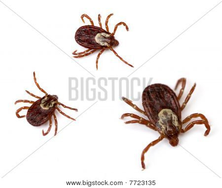 Dog Ticks