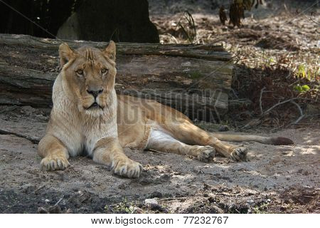 African lioness (Panthera leo).