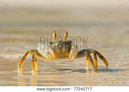 Alert ghost crab on the beach, Zanzibar island, Tanzania