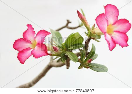 Desert Rose Are Beautiful Pink Flower
