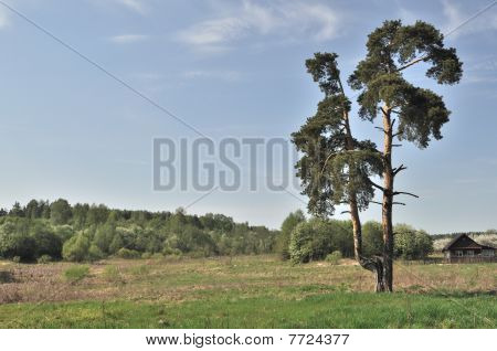 Solitary Pine Tree In The Field
