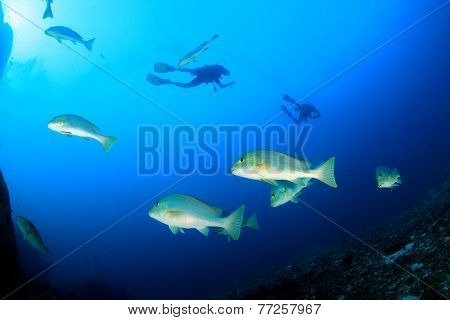 Sweetlips fish and scuba divers