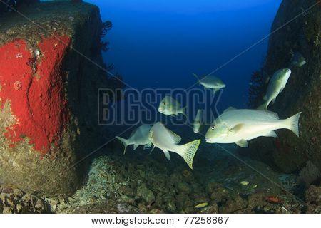 School of Silver Sweetlips fish