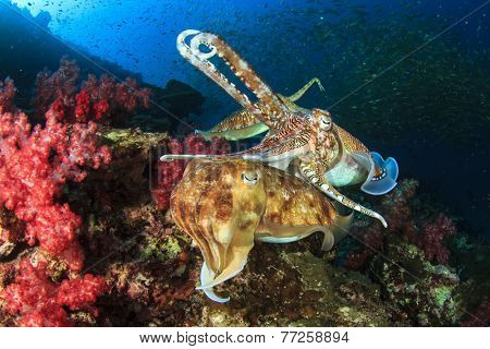 Pair of Cuttlefish mating