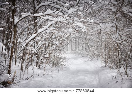 Snowy path through forest with heavy branches under snow in winter blizzard. Ontario, Canada.