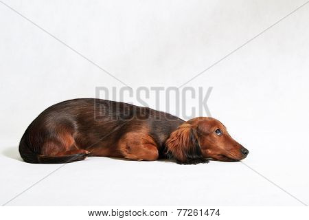 cute longhaired dachshund puppy