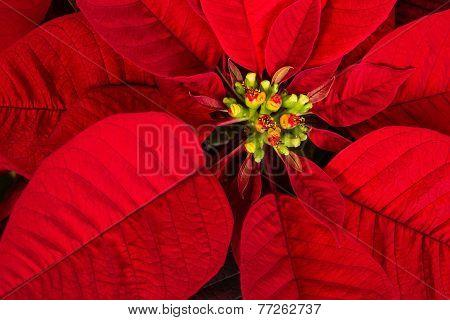 Red Poinsettia Flower (euphorbia Pulcherrima) Closeup