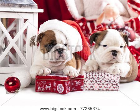 puppies christmas english bulldog