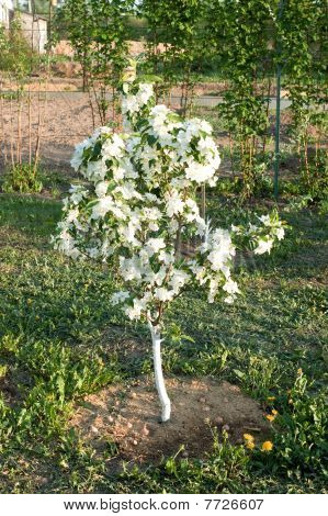 Flowering Of A Dwarfish Apple-tree