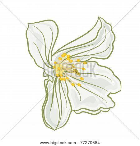 White Jasmine Flowers Vector