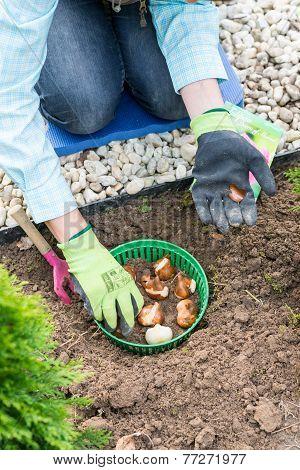 Woman Planting Tulip Bulbs