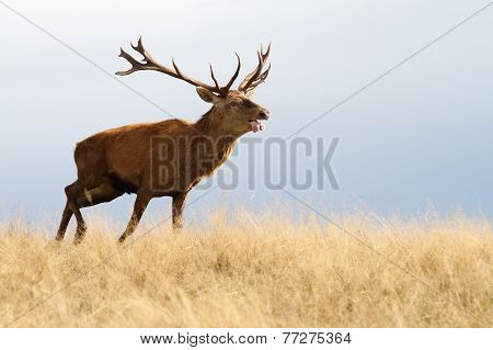 Red Deer Running In Autumn