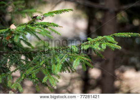 Fur-tree Branch In The Forest