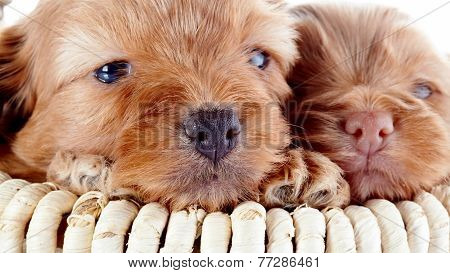 Noses Of Two Puppies In A Basket.