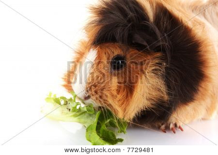 Funny Cavy On White Background