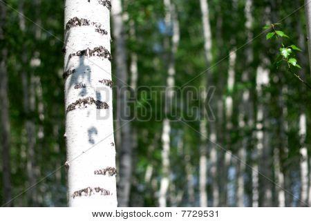 summer birch grove, white bark of birch