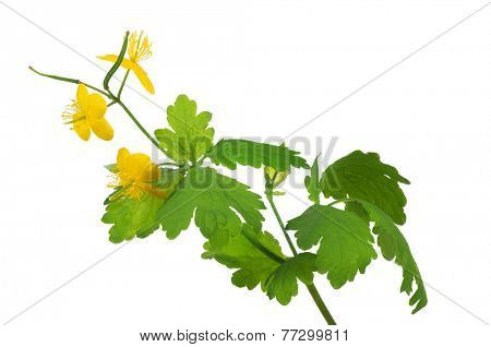 golden celandine flowers isolated on white background