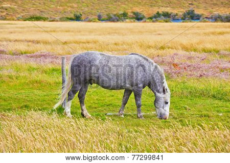 Gray white dappled horse grazing on a grassy meadow