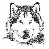 stock photo of wolf-dog  - Husky dog portrait - JPG