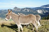 stock photo of einstein  - Two donkeys in the Tannheim Valley in Tyrol - JPG