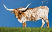 stock photo of longhorn  - Female Longhorn cow grazing in a Texas pasture - JPG
