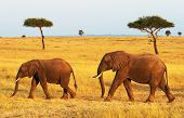 stock photo of tusks  - African Elephants  - JPG