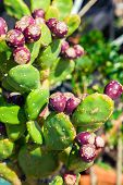 picture of prickly pears  - ripe purple fruit of the prickly pear cactus - JPG