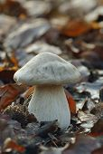 stock photo of agar  - Clouded Agaric Fungus - Clitocybe nebularis