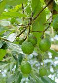 picture of avocado tree  - Ripe avocado fruits growing on tree  - JPG