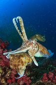image of cuttlefish  - Pair of Cuttlefish mating - JPG