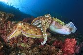 foto of cuttlefish  - Pair of Cuttlefish mating - JPG