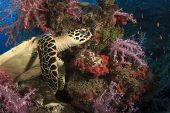 foto of hawksbill turtle  - Hawksbill Sea Turtle and coral reef - JPG