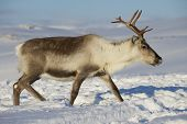 picture of tromso  - Reindeer in natural environment, Tromso region, Northern Norway