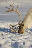 stock photo of tromso  - Reindeer in natural environment, Tromso region, Northern Norway