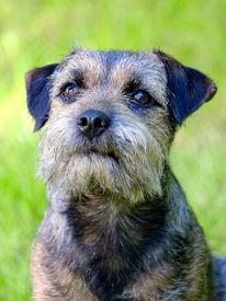 stock photo of border terrier  - Portrait of Border terrier in the garden - JPG